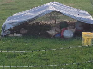 Tilldale Farm Chicken Coop
