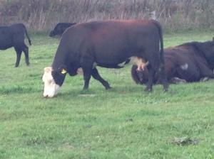 Tilldale Cow