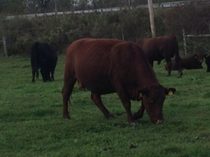 Tilldale Red Devon Cattle